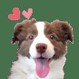 Puppy Border Collie Lillie 2