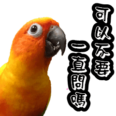 sun conure couple happy new year