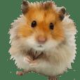 Golden Hamster~MoMoJai~ 4