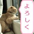 Yuzu of a cat Scottish Fold