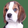 Nimo Beagle Ver.3