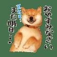 柴犬の梅ちゃん 広島弁 日常ver.