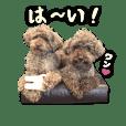 brown toypoodles