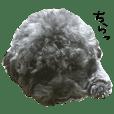 fluffy dog Leon