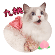 Ragdoll Cat of Peach-life