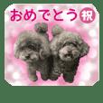 brown toypoodles 2