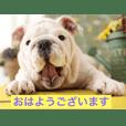 bulldog Fu-chan