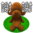 toy poodle Chinese (Traditional)