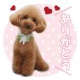 sora toy poodle Sticker 3