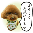 Cute dog Toy poodle (5) honorific words