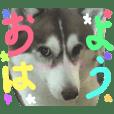 ハスキー犬 no.2