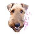 Kelly the Airedale