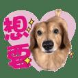 Muji dachshund