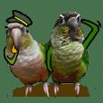 Momo&Siousiou are conures