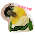 Black headed caique