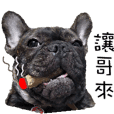 French Bulldog NP fragrancy