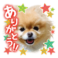 Japanese pomeranian sticker for family.
