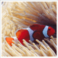 Anemone fish with marine life