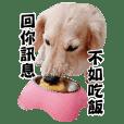 Mr CHOCO-Dachshund daily