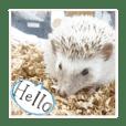 Pet is a hedgehog. Name is Shicimi.