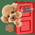 toypoodle chouchou