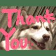 ハスキー犬3