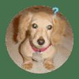 犬写真スタンプ  ダックスブラザーズ