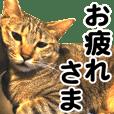 キジトラみるちゃん〜普段使い&敬語〜