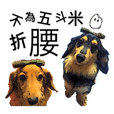 Long haired Dachshund-Rou Song & Tie Dan
