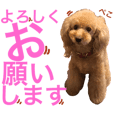 A good friend Toy poodle3