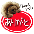 toy poodle LUCK 4