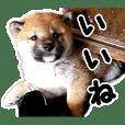 柴犬 空ちゃん(幼少編)