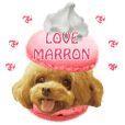 cute toypoodle marron