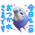 Greeting from Budgerigar8