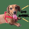 dachshund'Lu