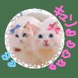 ラグドール姉妹 Kona&Lana