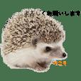 hedgehog Koto&Momiji