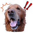 人間っぽい犬アイリッシュセター