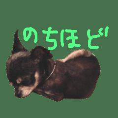 chihuahuasweet