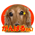 Stickers for people like Dachshund