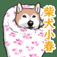 柴犬小春 こはチャンネル 簀巻き犬登場