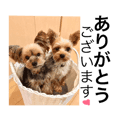 (Yorkshire Terrier)two dogs