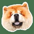 米蟲是隻鬆獅犬