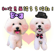 Bichon's happy family