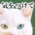 オッドアイの猫シロちゃん