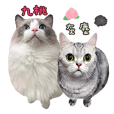 Ragdoll Cat&American Shorthair Cat-Daily