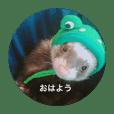 フェレットぽんちゃん