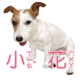 Fafababy ver.2 (Jack Russell Terrier)