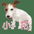 小花狗仔♡(傑克羅素)
