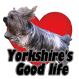 The daily life of Yorkshire Terrier